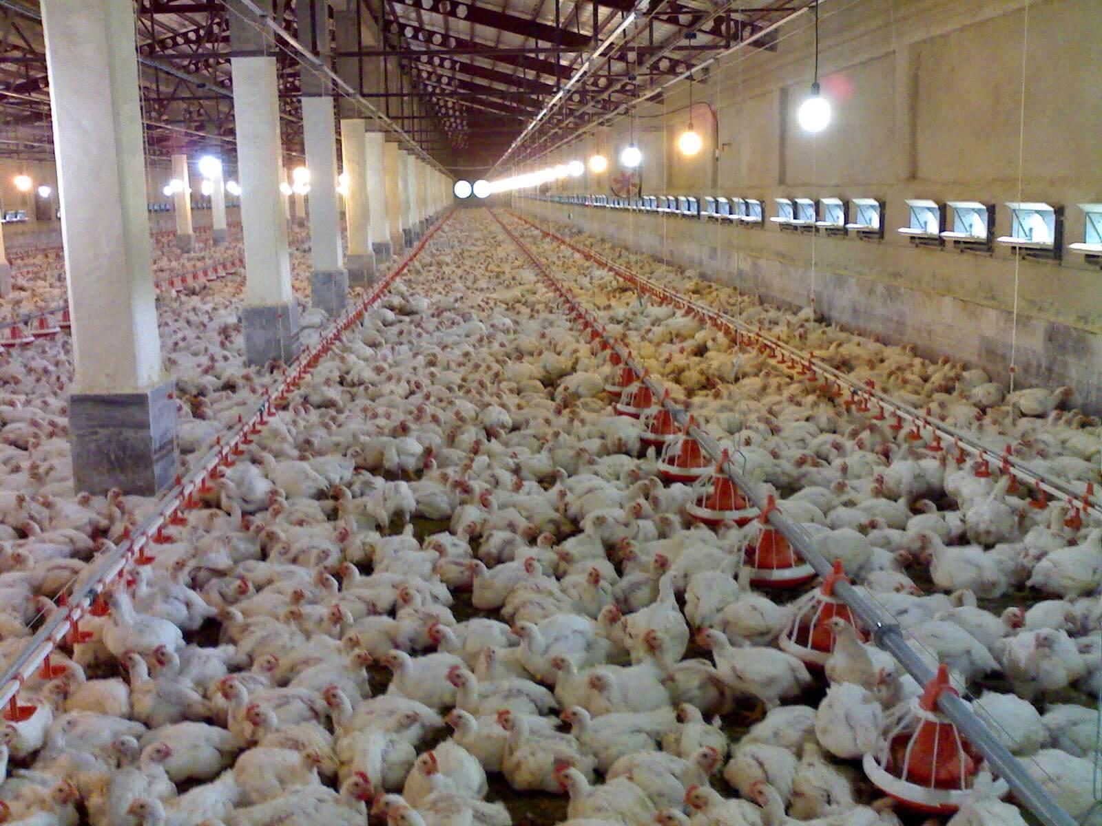 Dos de cada tres pollos están infectados con E. Coli